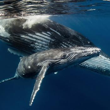 image listing de la page l'observation des baleines  est menacé
